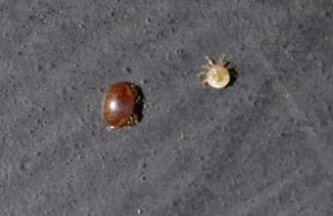 Female and male Varroa mites