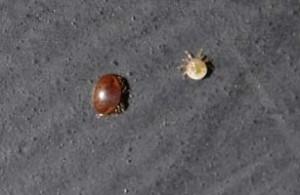 Female and male Varroa mites